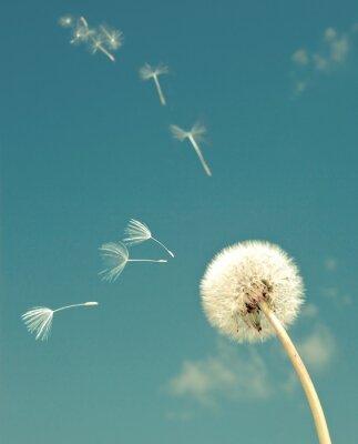 Fotomural Dandelion e voar fuzzes, com um efeito de retro