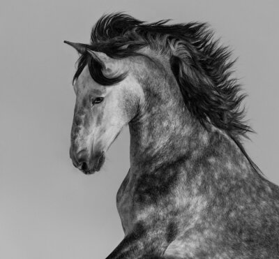 Fotomural Dapple-cinzento andaluz garanhão - retrato em movimento