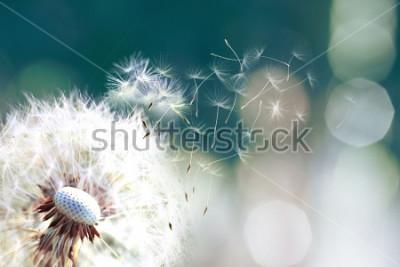 Fotomural Dente De Leão. Close-up de esporos dente-de-leão explodindo, sementes de dente de leão à luz do sol explodindo em um fundo verde fresco da manhã