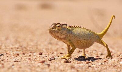 Fotomural Desert Chamaeleon no Namib, Namíbia