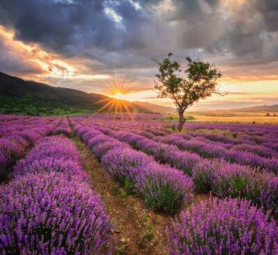 Fotomural Deslumbrante paisagem com campo da alfazema no nascer do sol