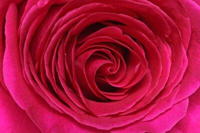 Fotomural Détail d'une rose