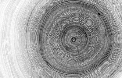 Fotomural Detailed macro view of felled tree trunk or stump. Black and white organic texture of tree rings with close up of end grain.