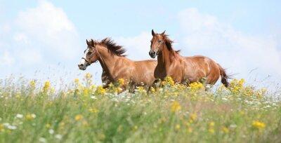 Fotomural Dois cavalos da castanha que funcionam junto