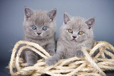 Fotomural Dois, cinzento, gatinho, britânico, rope, cinzento, fundo