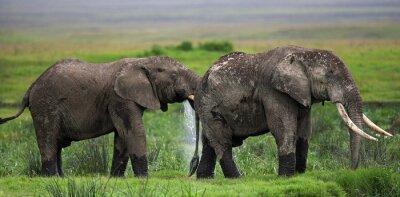 Fotomural Dois elefantes em Savannah. África. Quênia. Tanzânia. Serengeti. Maasai Mara. Uma excelente ilustração.
