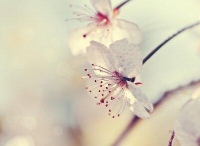 Fotomural Dois, flores, cereja, close-up