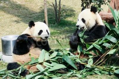 Fotomural Dois, gigante, pandas, comer, bambu