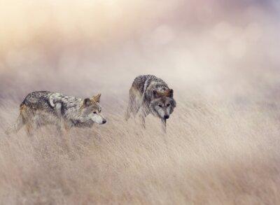 Fotomural Dois, lobos, alto, capim