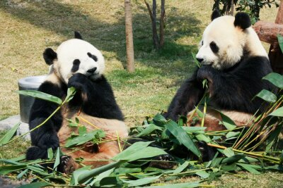 Fotomural Dois, pandas, comer, bambu