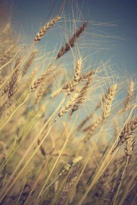 Fotomural Dourado, trigo, campo, ensolarado, Dia