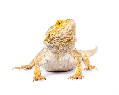 Fotomural Dragão farpado