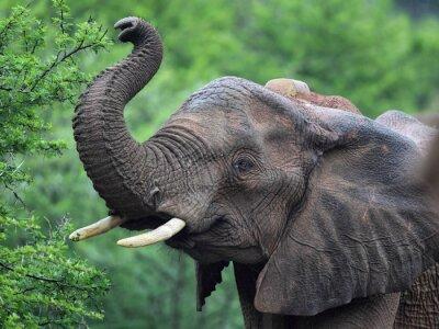 Fotomural Elefante africano (Loxodonta africana)