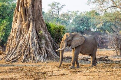 Fotomural Elefante africano (Loxodonta), passando por uma grande árvore