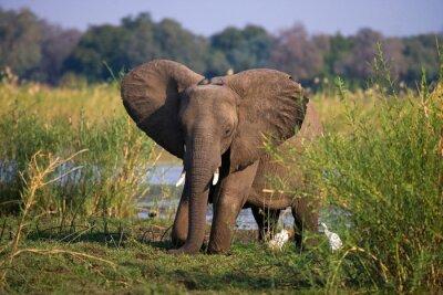 Fotomural Elefante que está na grama perto do rio Zambezi. Zâmbia. Baixa Zambeze National Park. Rio Zambeze. Uma excelente ilustração.