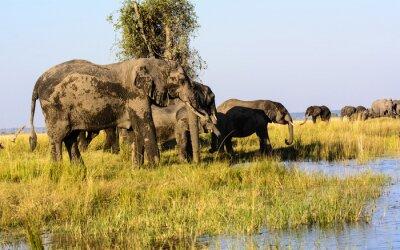 Fotomural Elefantes bebendo do rio de Chobe