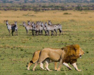 Fotomural Encontrando o leão ea leoa no savana. Parque Nacional. Quênia. Tanzânia. Masai Mara. Serengeti. Uma excelente ilustração.