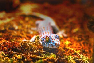 Fotomural Exótico, animal, tokay, gecko, lagarto