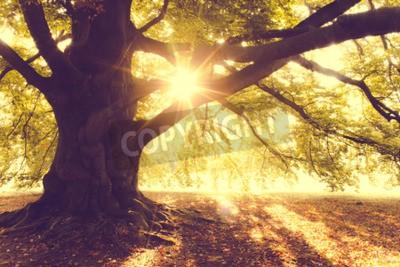Fotomural Faia, árvore, manhã, luz