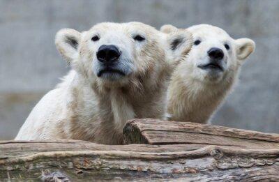 Fotomural Família do urso polar