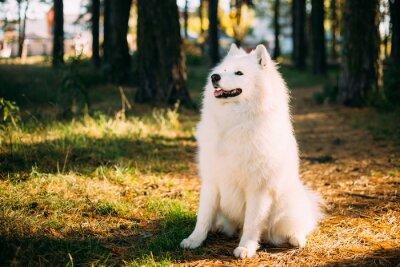 Fotomural Feliz, branca, Samoyed, cão, Ao ar livre, floresta