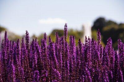 Fotomural Field of purple flowers
