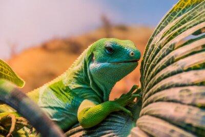 Fotomural Fiji uniu a iguana