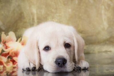 Fotomural Filhote de cachorro da raça Labrador