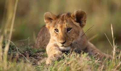 Fotomural Filhote de leão