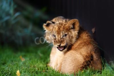 Fotomural Filhote de leão pequeno alerta com pele marrom em outdoore
