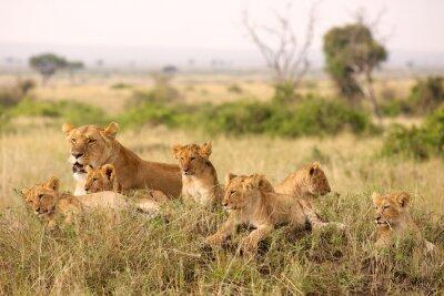 Fotomural Filhotes de leão pequeno que relaxam