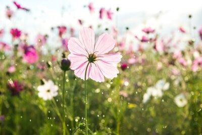 Fotomural Flor bonita do cosmos com chuva