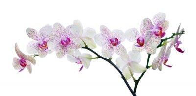 Fotomural flor cor orquídea luz em pontos-de-rosa no branco