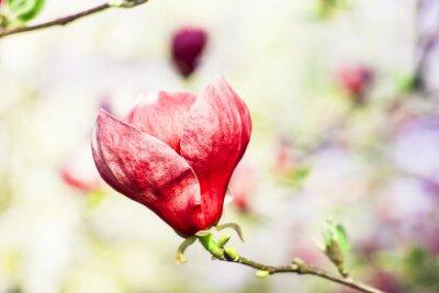 Fotomural Flor da árvore de magnólia