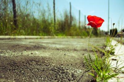 Fotomural Flor da papoila no concreto: conceito do poder da vida