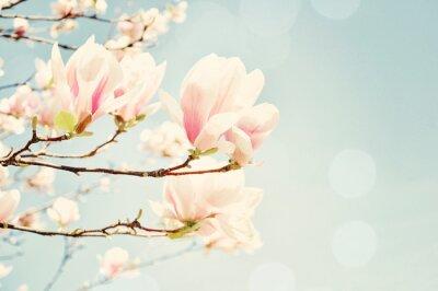 Fotomural Flor do Magnolia com um alargamento do sol. A falta de profundidade de campo de.