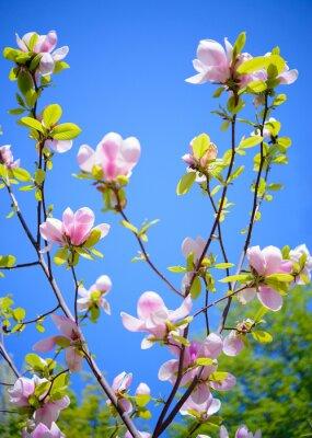 Fotomural Flores cor-de-rosa bonitas da magnólia no fundo do céu azul. Imagem floral da mola