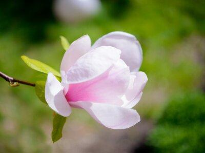 Fotomural Flores cor-de-rosa bonitas da magnólia no fundo verde. Imagem floral da mola