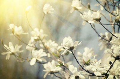 Fotomural Flores da magnólia