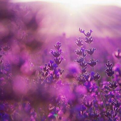 Fotomural flores de lavanda campo