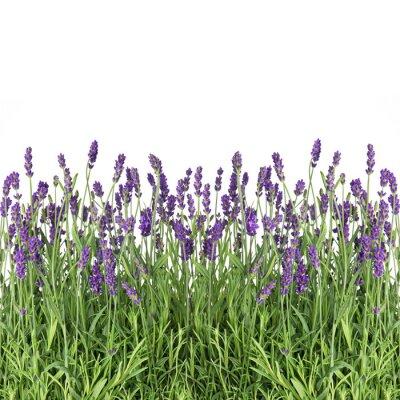 Fotomural flores de lavanda isolado no branco