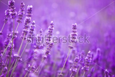 Fotomural Flores nos campos da alfazema nas montanhas de Provence.