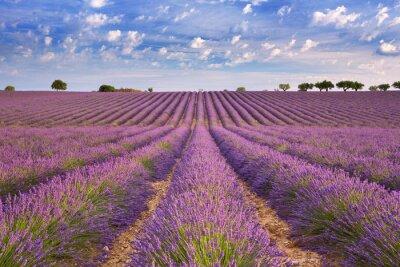 Fotomural Florescendo, campos, lavanda, Provence, sulista, França