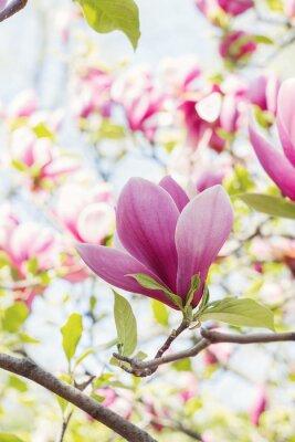 Fotomural Florescer, rosado, magnólia, flores, primavera, tempo