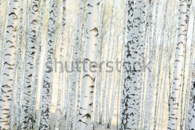 Fotomural floresta de vidoeiro na luz do sol da manhã