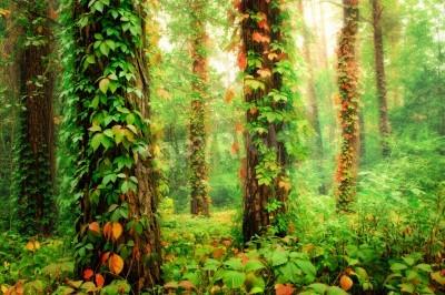 Fotomural Floresta mágica com troncos retorcidos por coloridas uvas selvagens de escalada