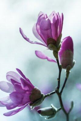 Fotomural Flowering pink magnolia