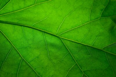 Fotomural Folha verde
