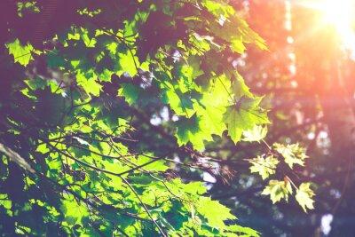 Fotomural Folhas de bordo verdes ensolaradas