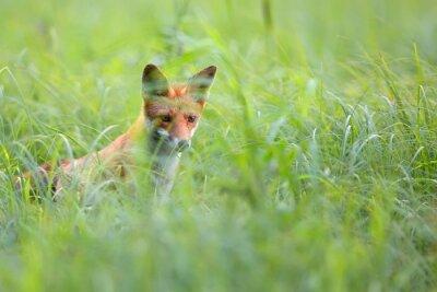 Fotomural Fox escondido na grama no selvagem